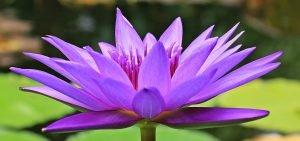 water-lili, royauté, pureté
