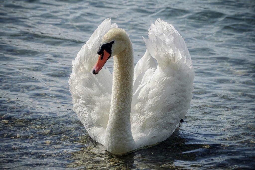 Swan, précision