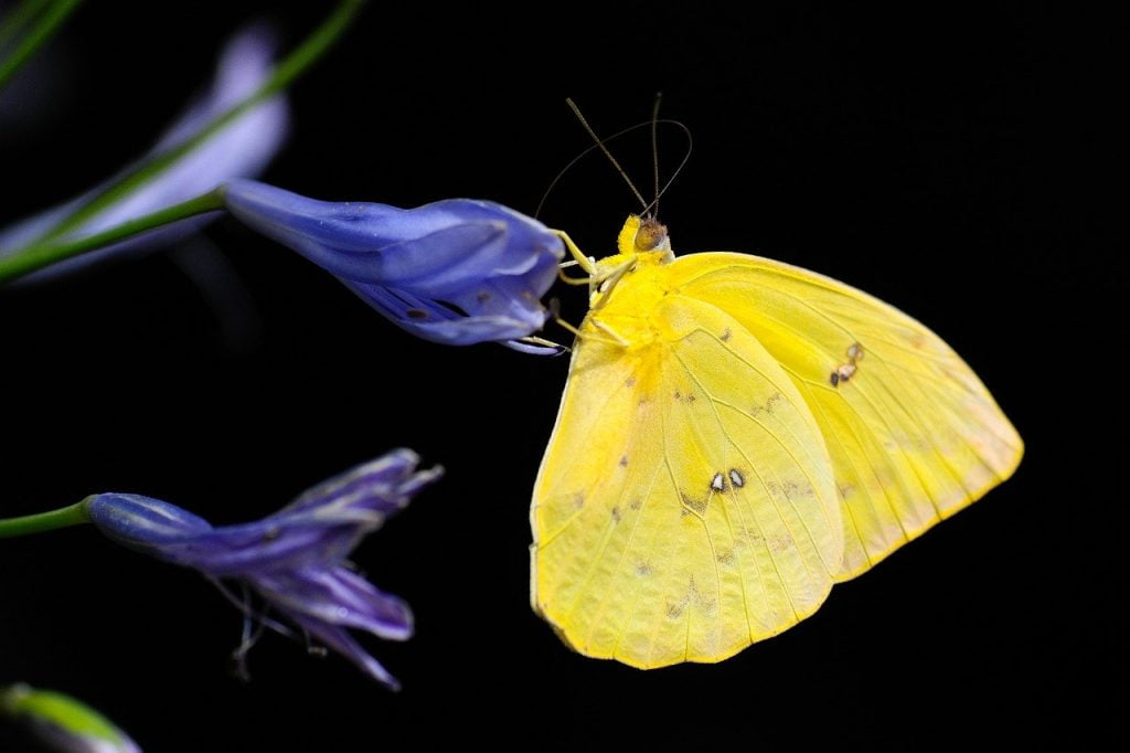 butterfly,comme,papillon