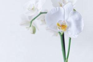 orchid,simplicite
