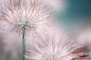 pasqueflower,respect,de,soi