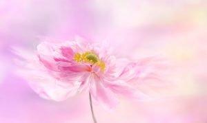 anémone,fleurs,parfumee