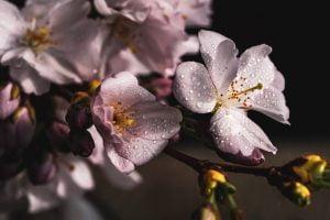 cherry-blossom, transformation, profonde