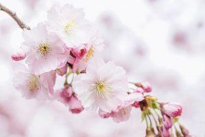 cherry-blossom, maitrise, reaction