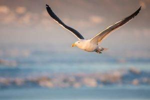 kelp-guil-in-flight, beaux, horizons