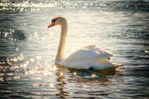 swan, douceur, misericorde