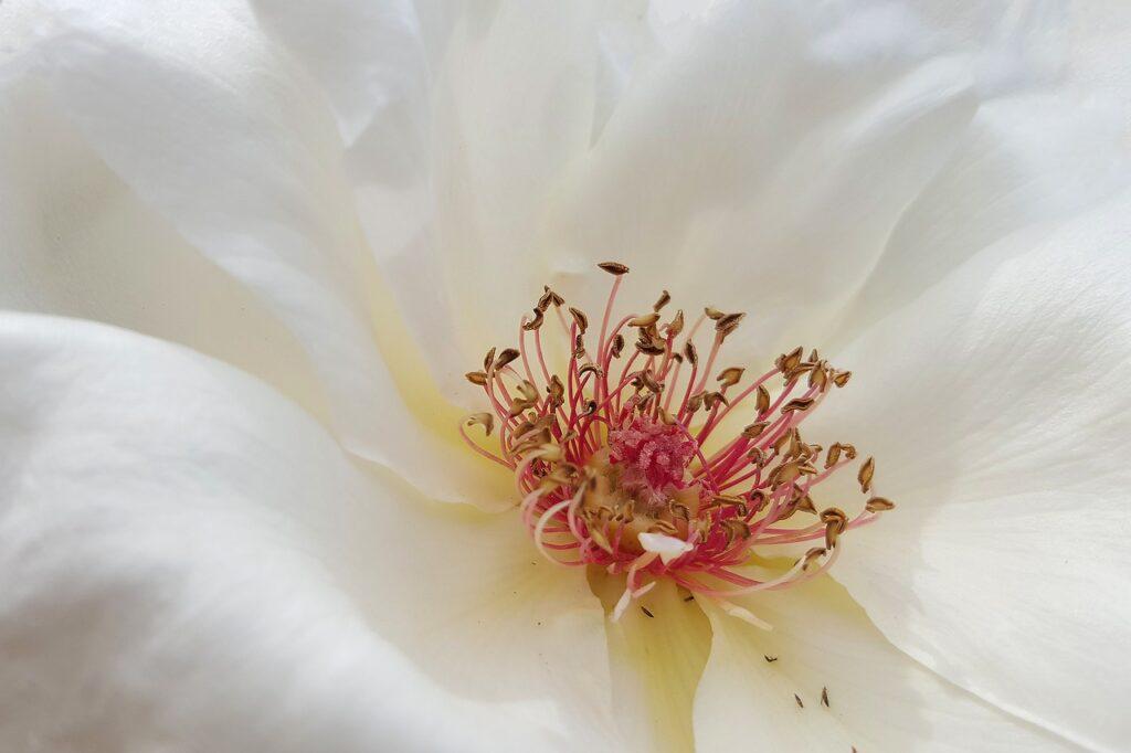 Le coeur d'une fleur toute blanche
